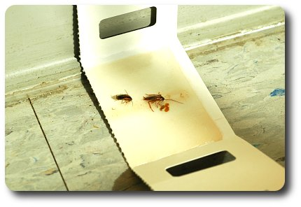 This sticky trap is the end of the line for two hapless German roaches.