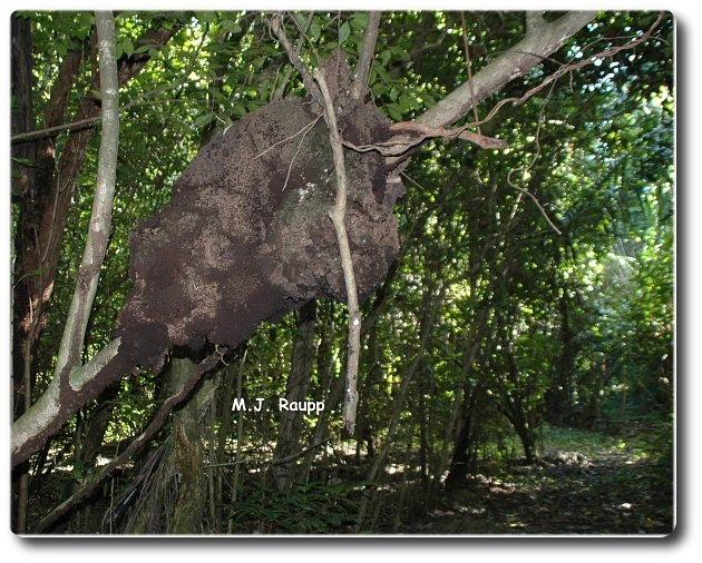 Sometimes termite nests are found in trees.