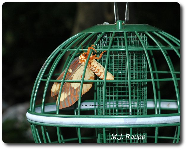 The royal walnut moth releases her pheromone to attract a mate.
