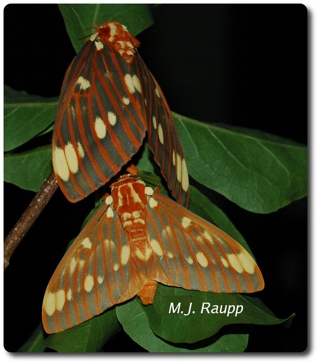 Female and male royal walnut moths make a regal couple indeed. Female above, male below.