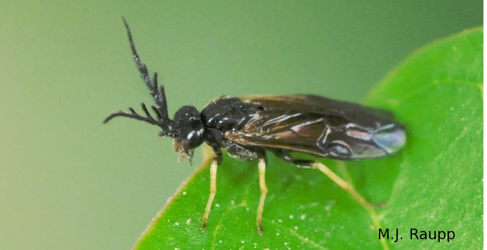 Adult sawflies are tiny wasps.