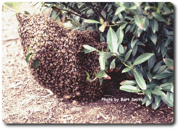 Swarming bees rest at temporary perches until scouts find a permanent nest site. Even low lying shrubs are used.