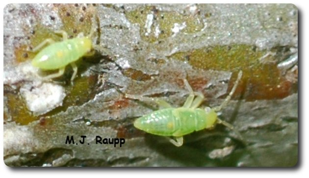 A pair of plant bug nymphs cavort on a twig.