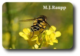 It's easy to see how someone might mistake the adult flower fly for a bee or wasp.