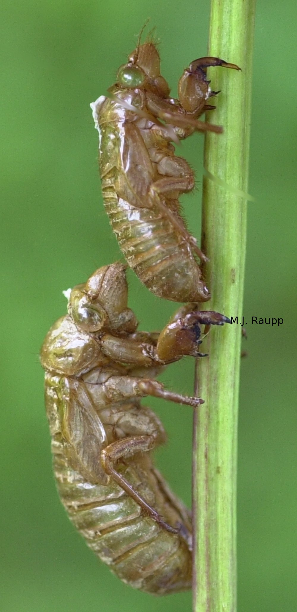 Shed cicada skins, called exuviae, decorate trees and shrubs.