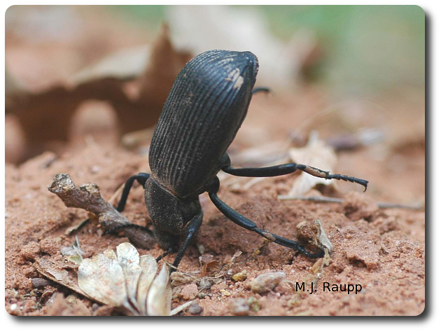 Eleodes stands on its head and releases irritating chemicals from its rear end to discourage would-be predators from making it meal.