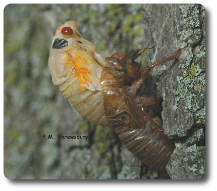 One of the most precarious acts for the cicada is shedding the skeleton it wore as a nymph before dashing to the treetop.