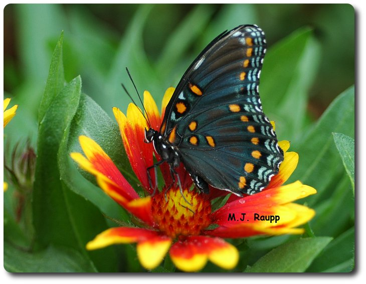 The red-spotted purple adult is a magnificent butterfly.