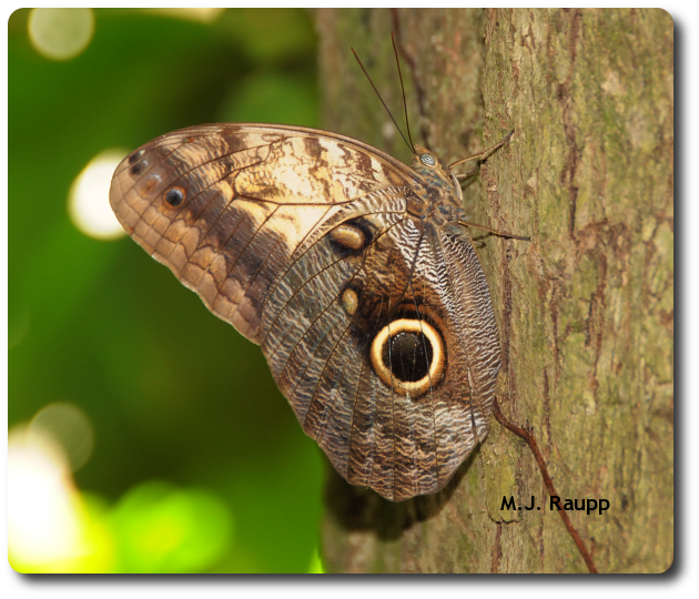 A scary eye spot adorns the wing of an owl butterfly.