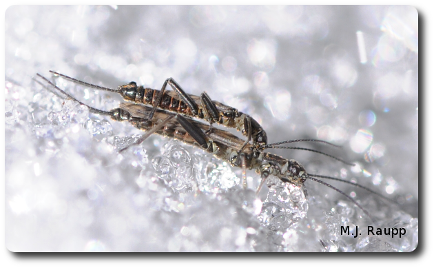 Winter stoneflies are active when riverbanks are covered with snow.