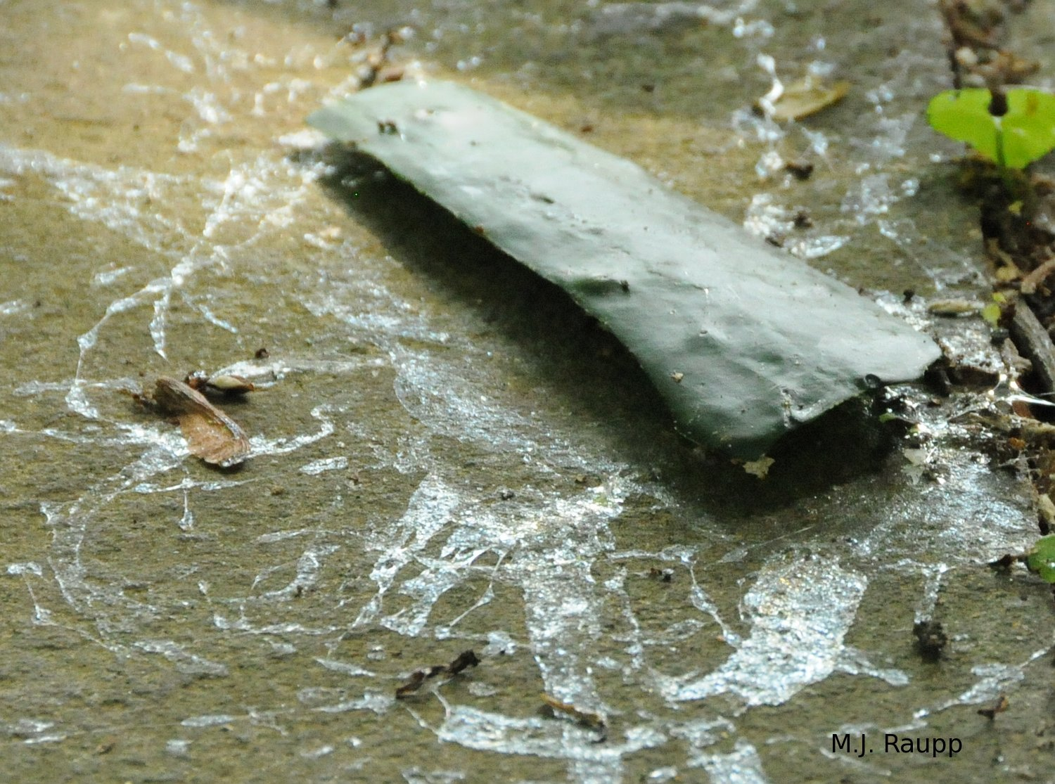 A fallen slice of cucumber is surrounded by slug trails in the morning.