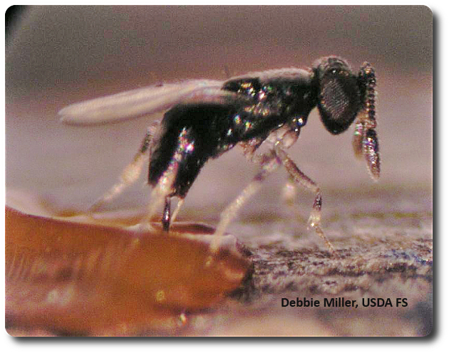 Tiny Oobius agrili lays her eggs in the eggs of EAB. Photo Credit: Debbie Miller, USDA FS.
