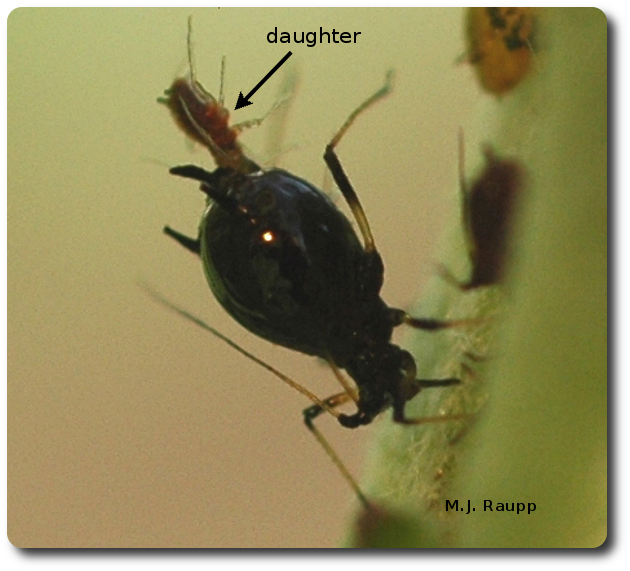 An aphid mom multitasks by giving birth to a daughter while sucking plant sap.