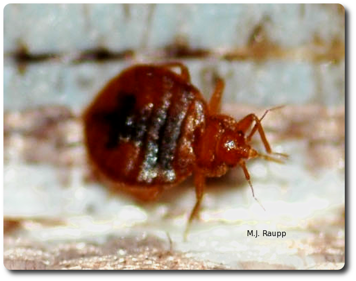 Bed bugs can drink four to six times their body weight in just a few moments.