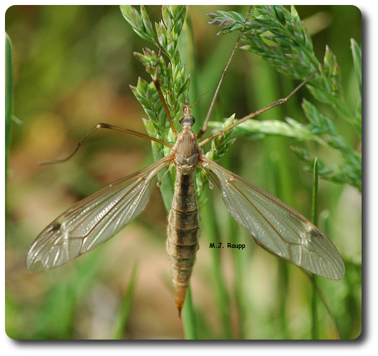 Crane flies often rest in grass or on vegetation.