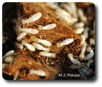Eastern subterranean termites foraging on a piece of wood. Notice the soldier in the center of the picture with the huge head and large, powerful jaws surrounded by worker termites.