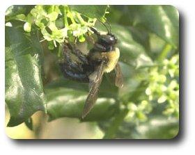 Female Carpenter Bee.