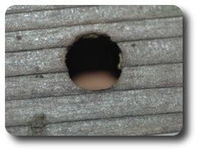 Carpenter Bee Hole.