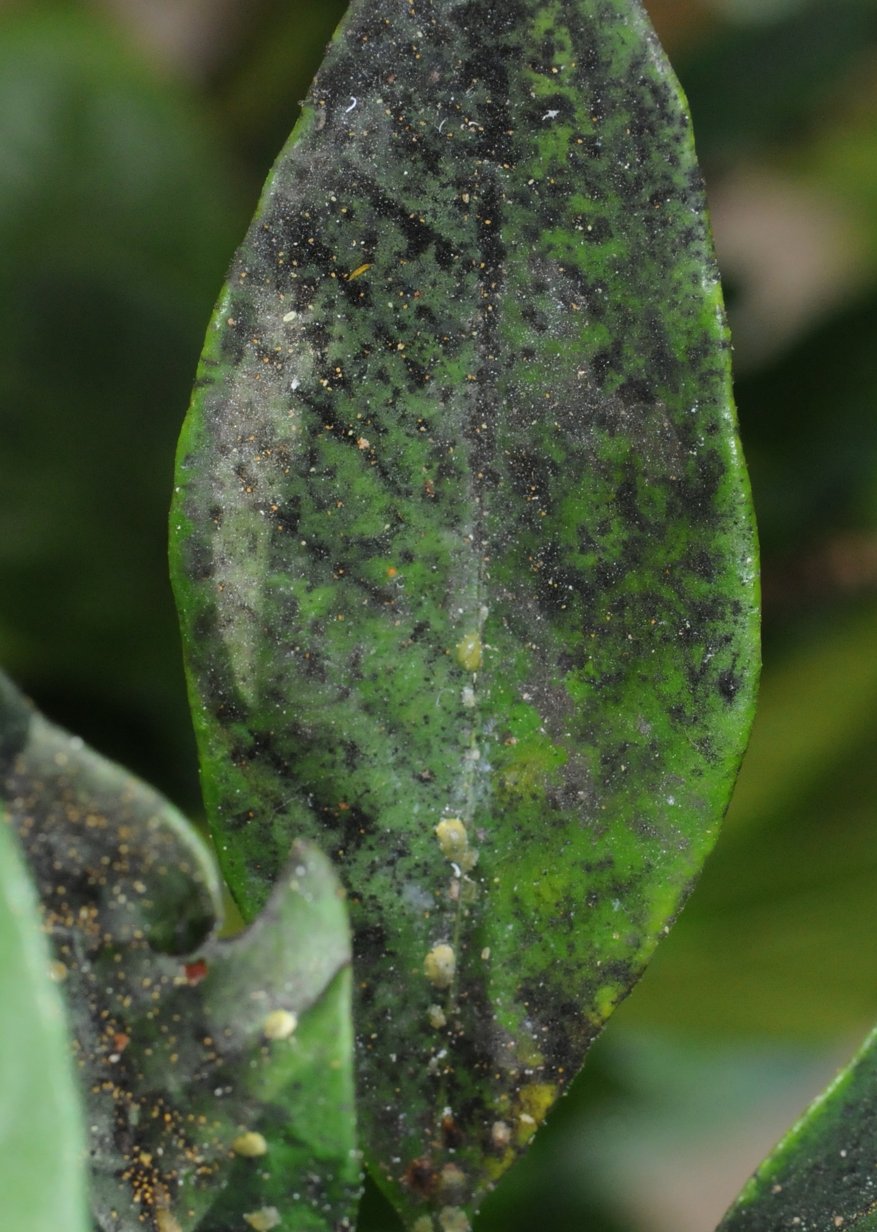 Honeydew serves as the substrate for an ugly leaf-coating fungus called sooty mold.