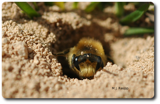 From the safety of its burrow, a plasterer bee takes a peek at the bug geek with a camera.