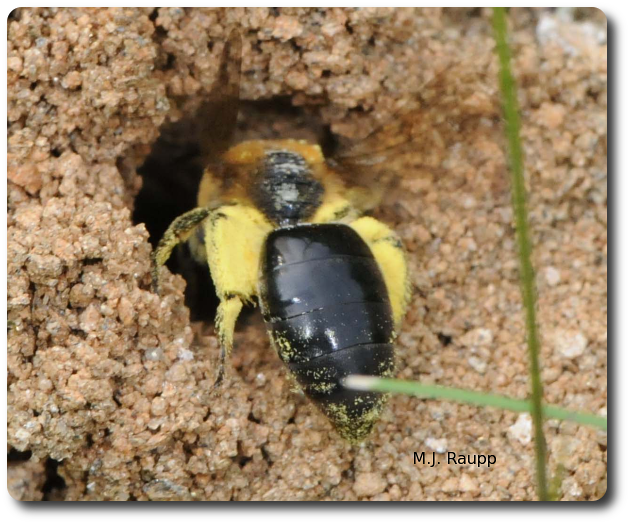 With a full load of pollen on each leg, down the hole she goes.