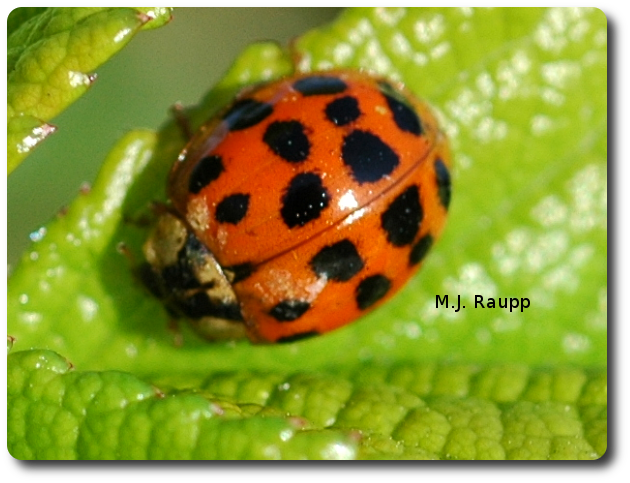 A single multicolored Asian lady beetle adult consumes dozens of aphids each day.