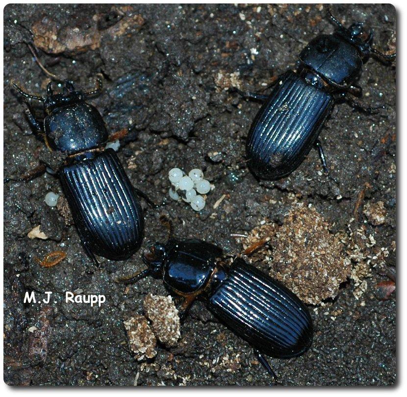 Faith and buggora, a clan of bess beetles!