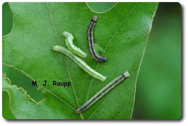 Fall cankerworms sport nifty skin colors of green or brown.