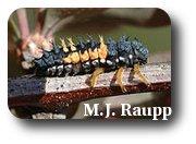 The Asian lady beetle larva looks a bit like an alligator.