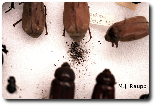 Telltale droppings beneath a pinned specimen in an insect collection are signs of an infestation of dermestid beetles.