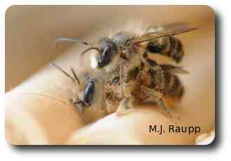 Male mason bees guard their mates from interlopers.