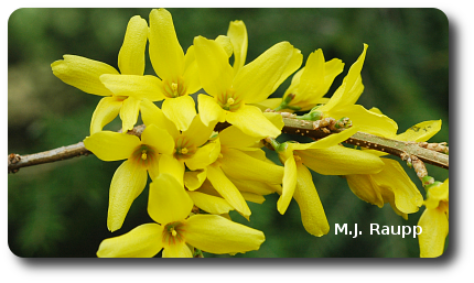 The blossoming of forsythia is a reliable predictor of the hatching of eastern tent caterpillar eggs.