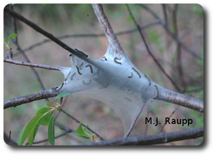 As caterpillars grow, they construct tents on larger branches near the trunk of the tree. Small and sometimes even large trees may be stripped by hungry tent caterpillars.