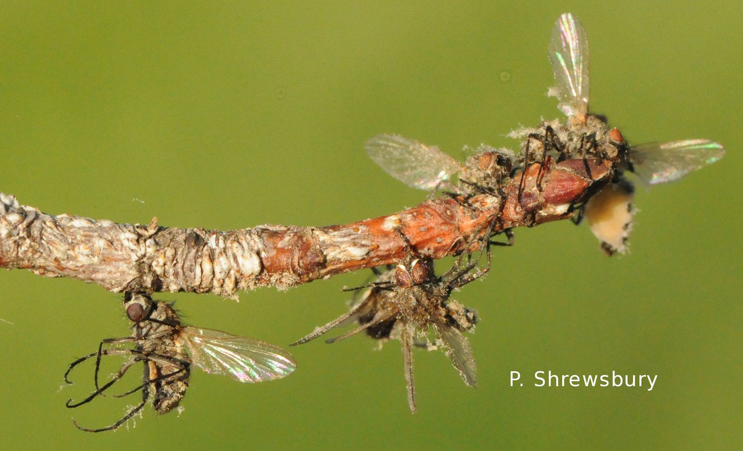 Dead seed corn maggot adults stuck to the tip of a tree branch.
