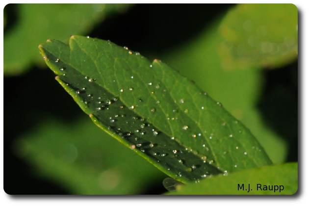 Tiny liquid jewels of honeydew adorn the leaves of aphid-infested plants.
