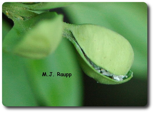 Cupped leaves are a sure sign of boxwood psyllid.
