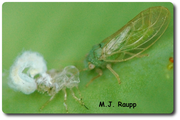 A young psyllid adult rests after escaping from the skin it wore as a nymph. See the wax on the shed skin.