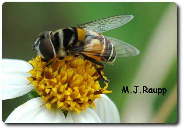 Flower flies don't sting but they mimic bees and wasps to gain protection from their own predators.