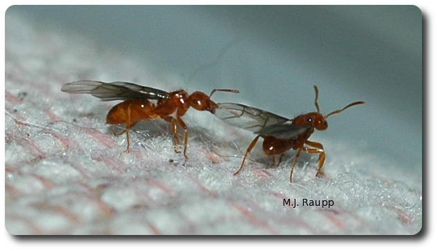 Winged adults of citronella ants sometimes emerge inside homes.