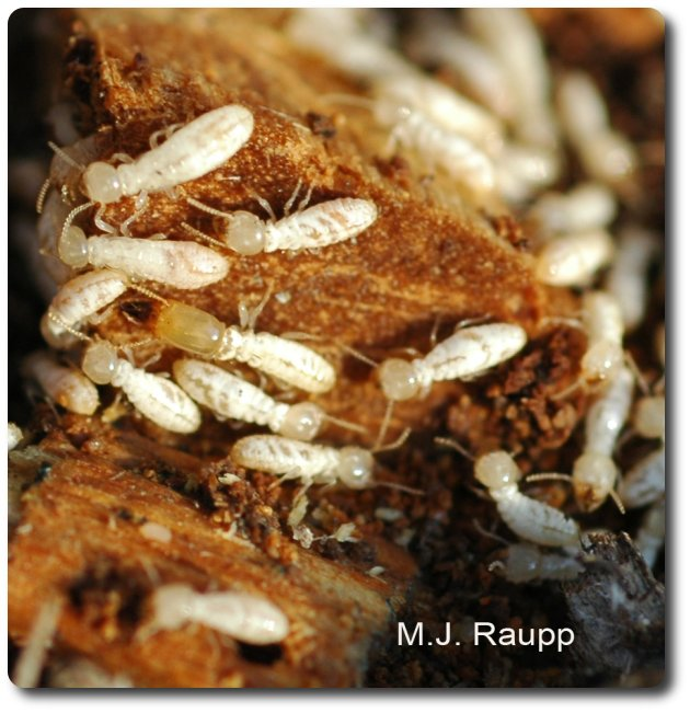 Termites have a wide waist and antennae that look like a string of beads.