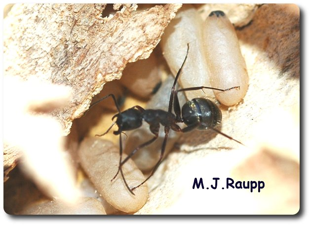 Black carpenter ants usually make their home in decaying wood outdoors but they often forage and may establish colonies inside homes.