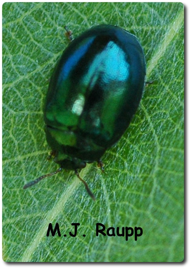 Imported willow leaf beetles munch holes in leaves of weeping willows.