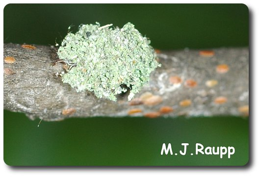 This innocent looking piece of lichen actually disguises a wolf in sheep's clothing.