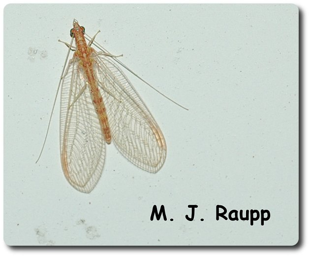 Lacewing adults are active again at my porch lights, a sure sign that spring has arrived.