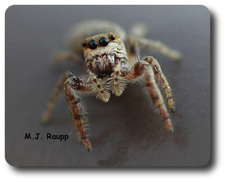 Just before jumping on my camera lens, this salticid sized me up.