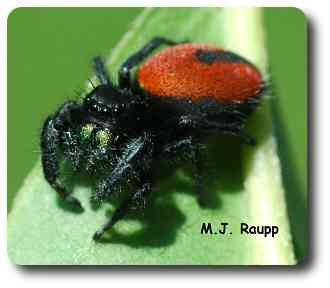 Red hairs on the abdomen and metallic green fangs adorn the gorgeous jumping spider from California.
