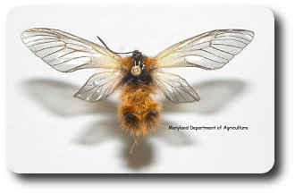 Adult moths fly in autumn and mimic wasps.