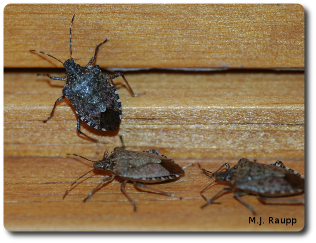 Stink bugs will also collect around windows and may be easily vacuumed up and eliminated.