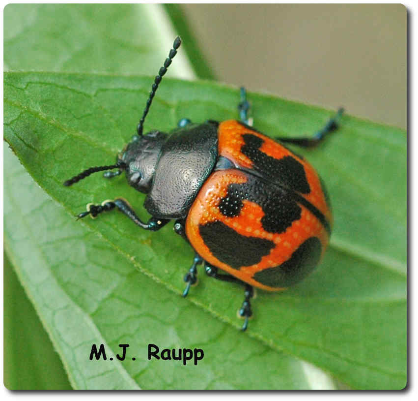 After a hearty meal of milkweed leaves, this beetle is ready to lay some eggs.