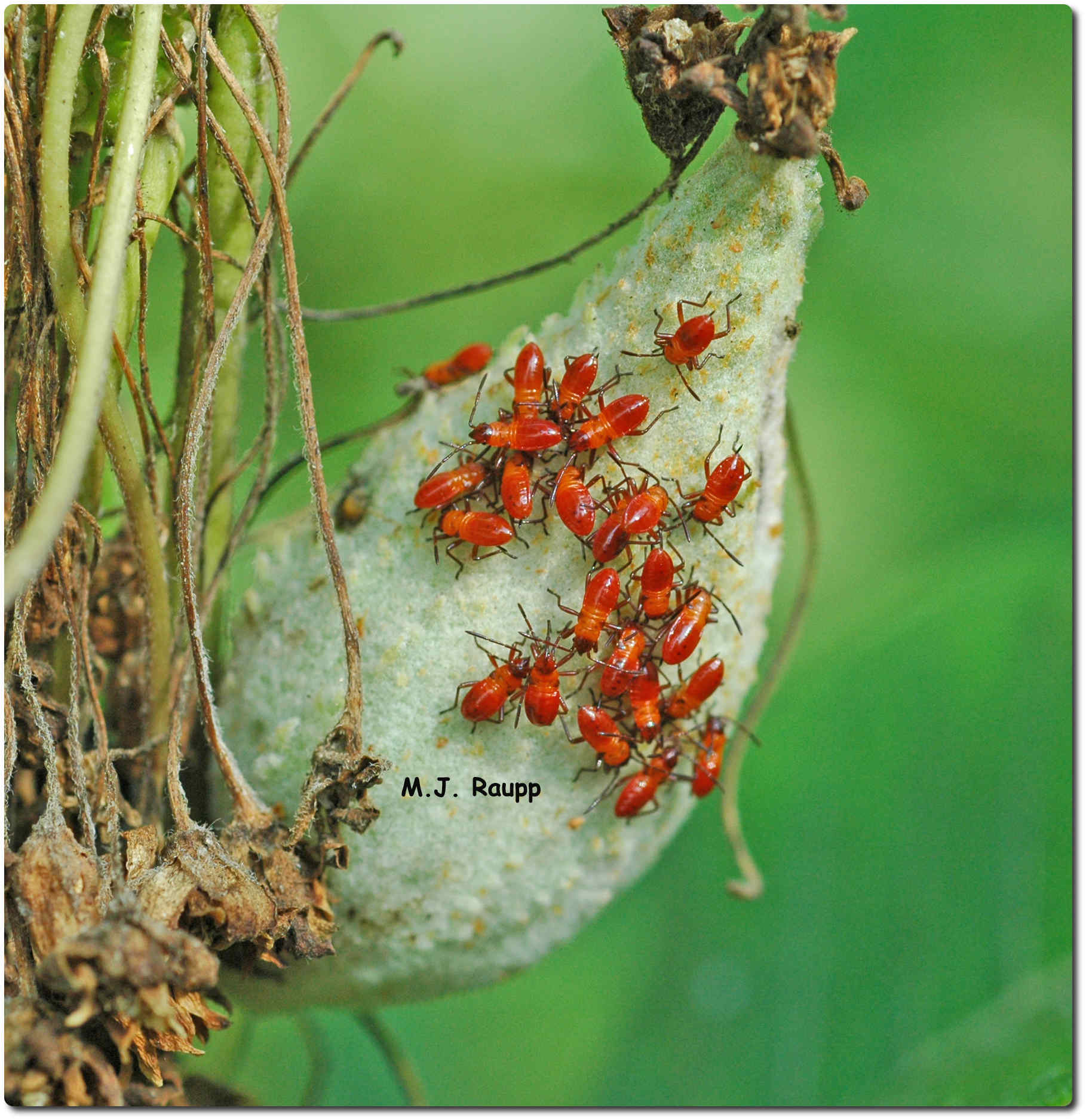 Long beaks enable nymphs of milkweed bugs to eat seeds within the milkweed pod.